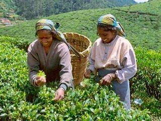 Picking tea