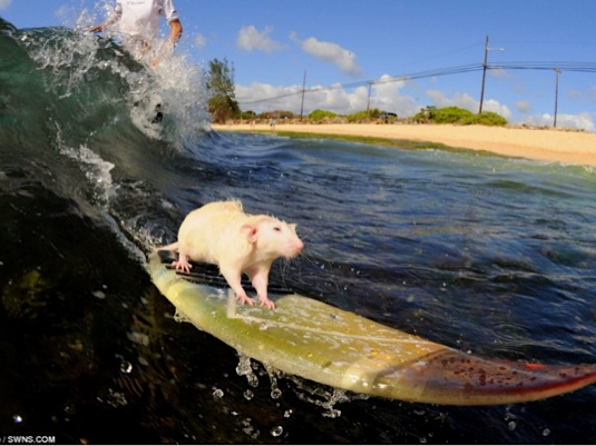 Surfing rat