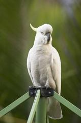 Cockatoo in the backyard